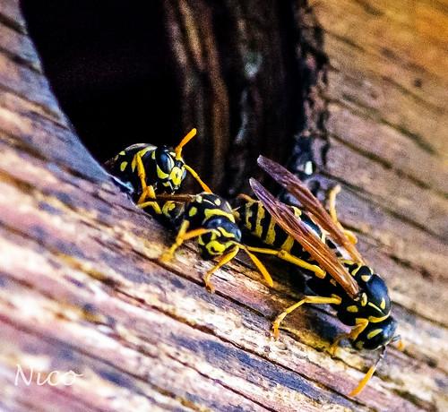 Yellow jackets DSC_6593 I think we have just found out why there was no bird activity in this bird house during this summer. Je pense que nous venons de trouver pourquoi il n'y avait pas d'activité des oiseaux dans cette maison de l'oiseau pendant l'été