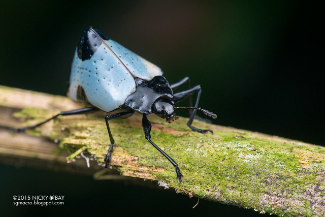 Pleasing fungus beetle (Gibbifer sp.) - DSC_2362