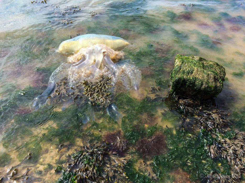 Sadly this jellyfish won't last much longer