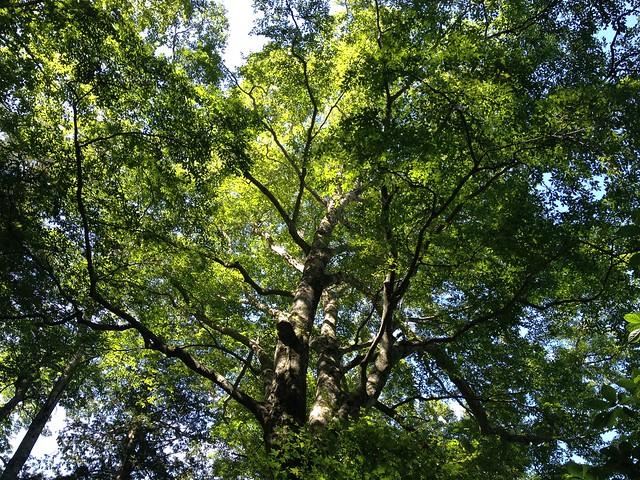 焼岳 中尾温泉ルート ブナ巨木