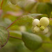 White Berries by asphotography46