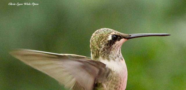 Hummingbird selfie! She got really close! ^__^