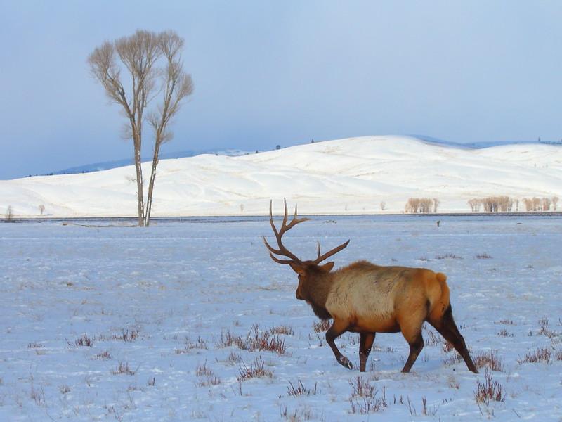IMG_8932 Elk with Broken Antler, National Elk Refuge