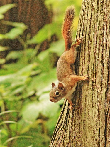 Red Squirrel 4-20150906