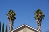 Actually this atre two very tall California Fan Palms that the owner forgot to maintain.