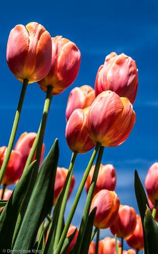 Tulips. White Chapel, Troy, Michigan