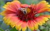 Pollen Covered Bee on Gaillardia