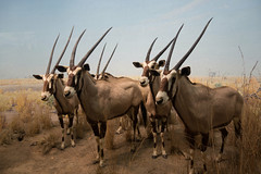 texas longhorn(0.0), pack animal(0.0), cattle(0.0), cattle-like mammal(1.0), animal(1.0), antelope(1.0), gemsbok(1.0), mammal(1.0), horn(1.0), herd(1.0), fauna(1.0), oryx(1.0), wildlife(1.0),