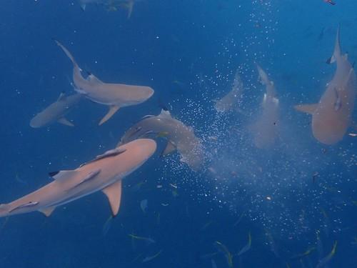 帛琉鯊魚群看似危險,其實很安全,比我們小隻一點點所以不會咬人。(Olympus TG-4拍攝)