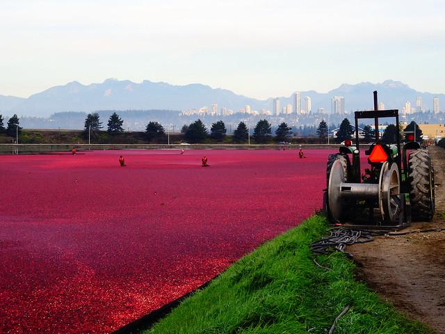 2015 Cranberry Harvest Season