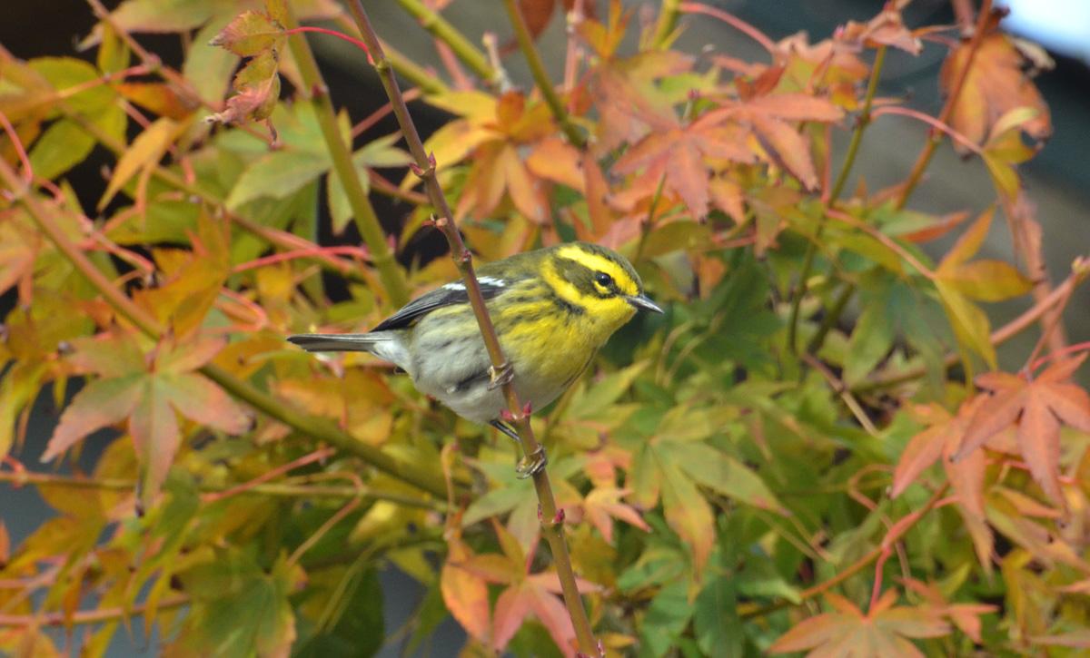 Townsend's Warbler - 11/22/2015