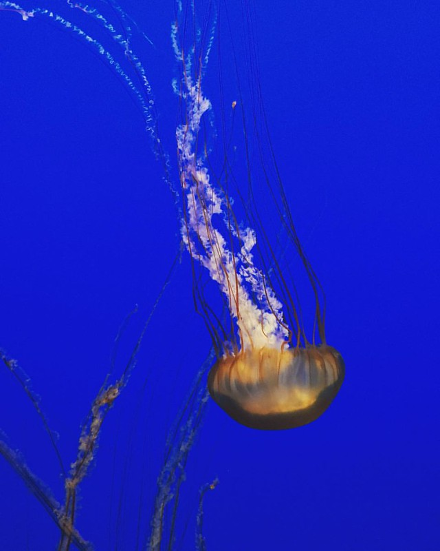 Jellyfish exhibit at Monterey Bay Aquarium