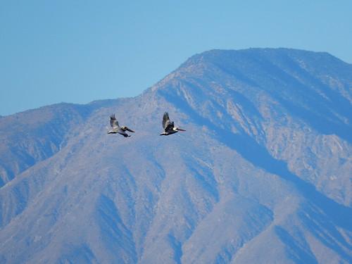 Salton Sea State Park - 2 pelikanen
