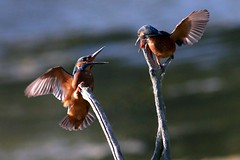 Clash Of The Kingfishers