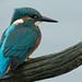 Kingfisher by MOZBOZ1