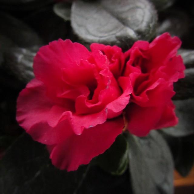 Fleur Rouge by D, Canon POWERSHOT SX510 HS