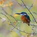 Martin-pêcheur d'Europe - Alcedo atthis - Common Kingfisher