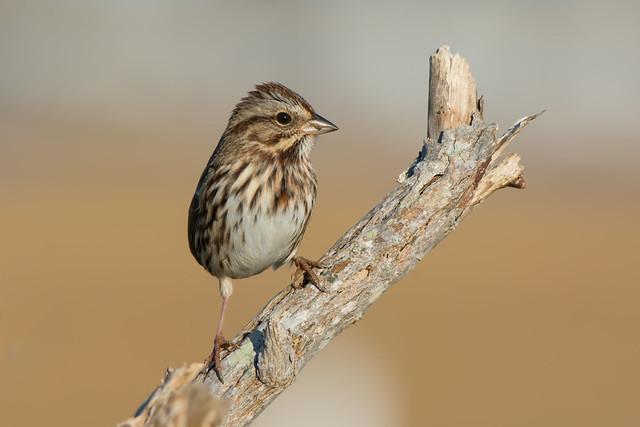 Song Sparrow, Nikon D7100, AF-S Nikkor 200-500mm f/5.6E ED VR