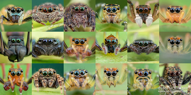 Jumping spiders from Maliau Basin
