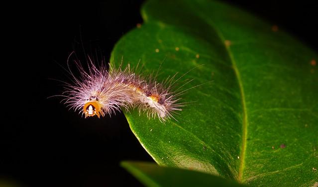 Unknown caterpillar... Treetops Park, Canon EOS 5DS, Canon MP-E 65mm f/2.8 1-5x Macro Photo