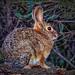 Bush Rabbit by FotoGrazio