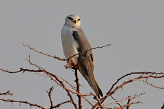 Black Shouldered Kite 1 Namibia 2016