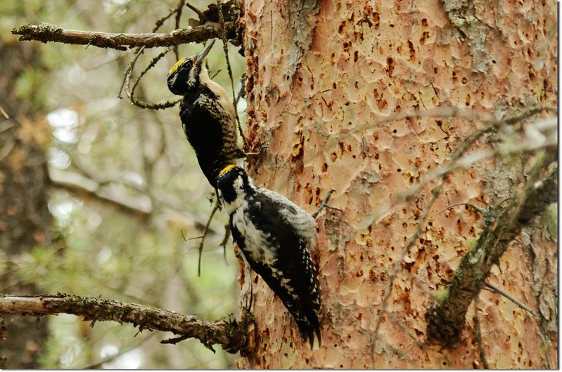 Woodpeckers 2