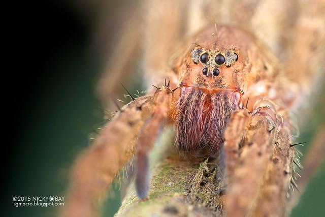 Wandering spider (Ctenidae) - DSC_1143