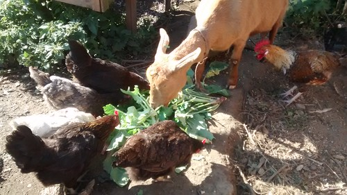 Goat and hens Aug 15 (2)