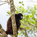 Yellow-tailed Wooly Monkey by GHC2000