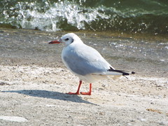 Black-headed gull (winter plumage)