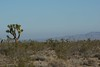 Some addtional photos of the Joshua trees that are all around here in the desert.