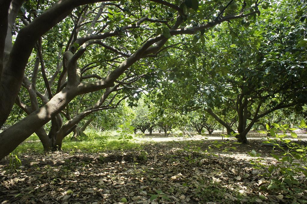 台南市麻豆區5012柚意思柚子園 (12)
