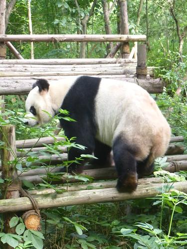 CH-Chengdu-Panda-géant (6)