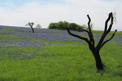 Ennis - Trimmed Trees & Blue Bonnets