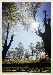 2015_11 塔塔加_夫妻樹 12