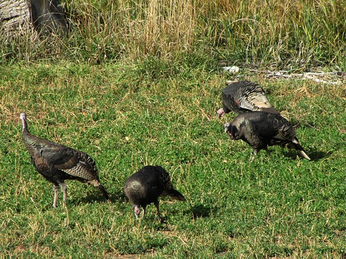 rural colorado wildlife wildturkeys paonia
