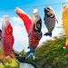 鯉のぼり - いたち川 / Koinobori by Active-U