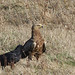 Lesser Spotted Eagle and Raven (Tom Mabbett)