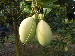 Green Mangoes close up