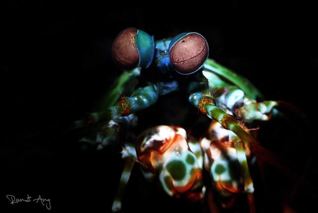 Peacock Mantis Shrimp