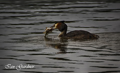 Great Crested Grebe Swallowing A Perch