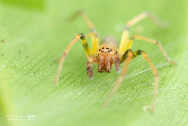 Ghost sac spider (Anyphaenidae) - DSC_3483