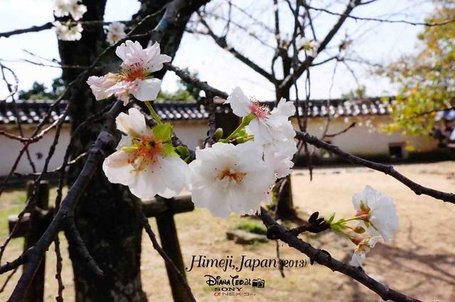 Japan - Himeji Sakura 01
