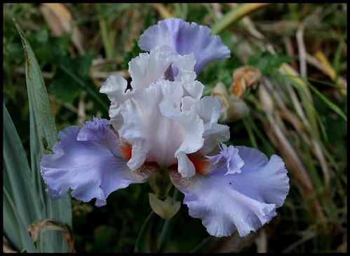 Iris Annoucement
