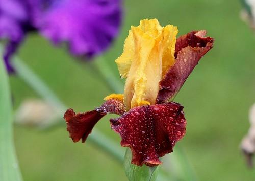 Nos Iris : floraisons 2012 - Page 2 21251421651_48c013aa33