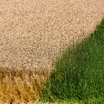 Contrasting wheat of Hawkesville