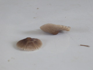 Mushrooms - YD00172