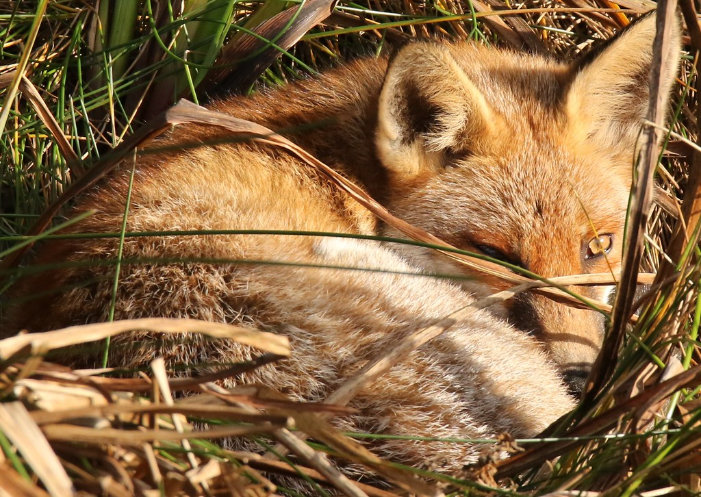 Red Fox resting peacefully