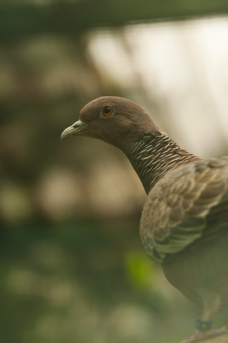Patagioenas picazuro - Picazuro Pigeon